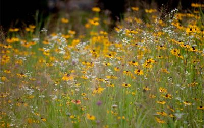 Coastal flowering meadow from seed: plant specification